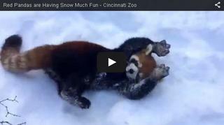 レッサーパンダが雪におおはしゃぎ.png